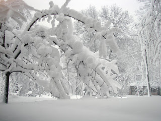 Trees heavily weighted with snow
