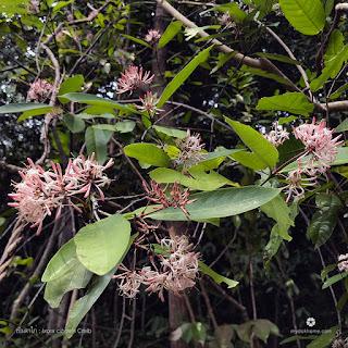 รายชื่อต้นไม้ ดอกเข็มพื้นเมืองของไทย ในสกุลเข็ม Ixora (วงศ์เข็ม Rubiaceae)