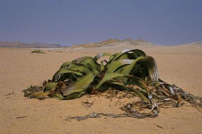 African Welvitchia Mirabilis