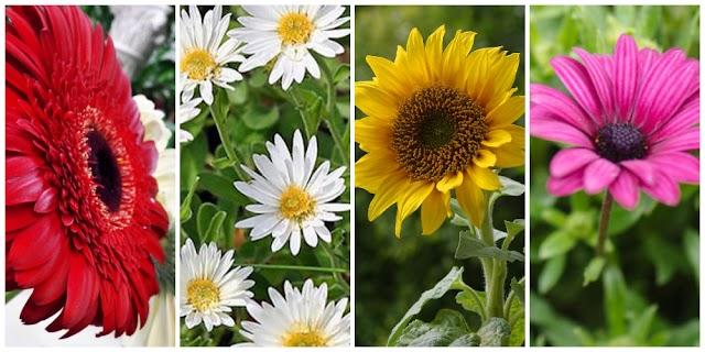 12 Λουλούδια που μοιάζουν με Μαργαρίτες