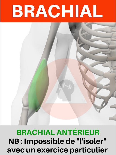 musculation fitness anatomie biceps brachial antérieur