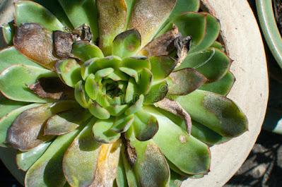 cara mengatasi daun rontok pada sukulen