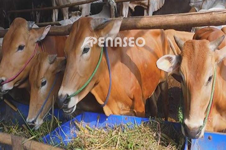 Tips Ternak Sapi Bali Agar Cepat Panen dan Untung Banyak