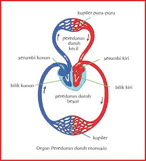 organ peredaran darah manusia