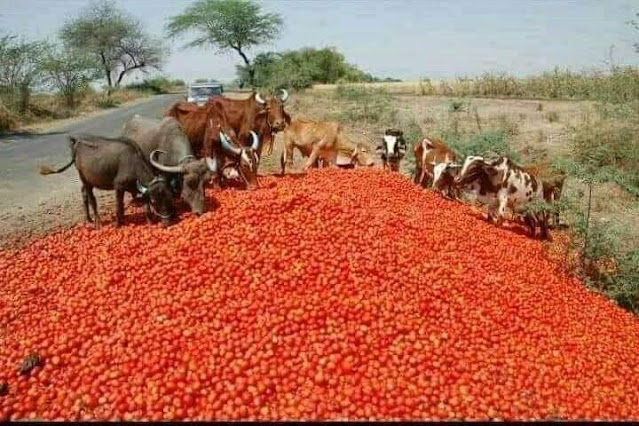"""alt: = """"picture of tomatoes wasting on the floor of the road""""\ 640x426"""