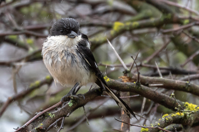 Fiscal Flycatcher in the rain