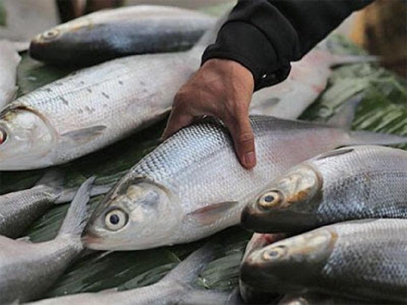 Gambar cara budidaya ikan bandeng agar cepat besar