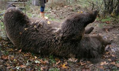 Εστιατόριο στην Αλβανία προσφέρει πιάτα με κρέας αρκούδας που έχει σκοτωθεί παράνομα.Το κρέας μπορεί να προκαλέσει σοβαρές επιπλοκές όπως διάρροια, κράμπες, ακόμα και παραισθήσεις