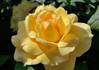 Sophia Renaissanse роза сорт фото купить саженцы в Минске