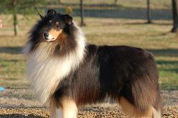 Anjing Collie