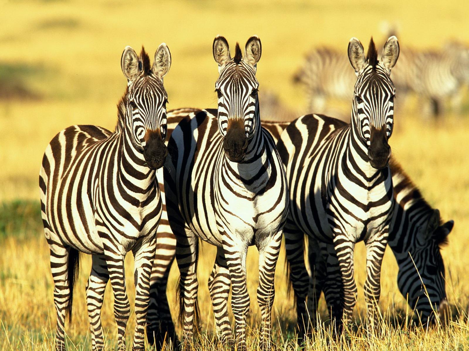 Free Best Pics Zebra Pictures Zebra Wallpapers And Zebra Pics
