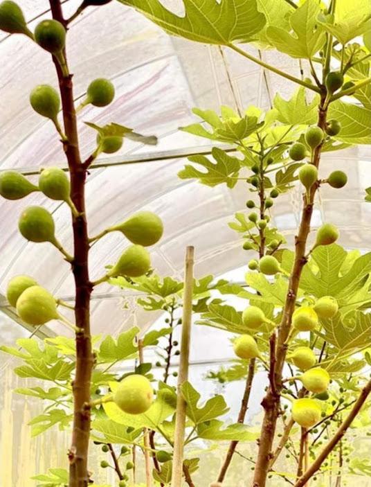 bibit buah tin fresh cangkok berbagai jenis Prabumulih