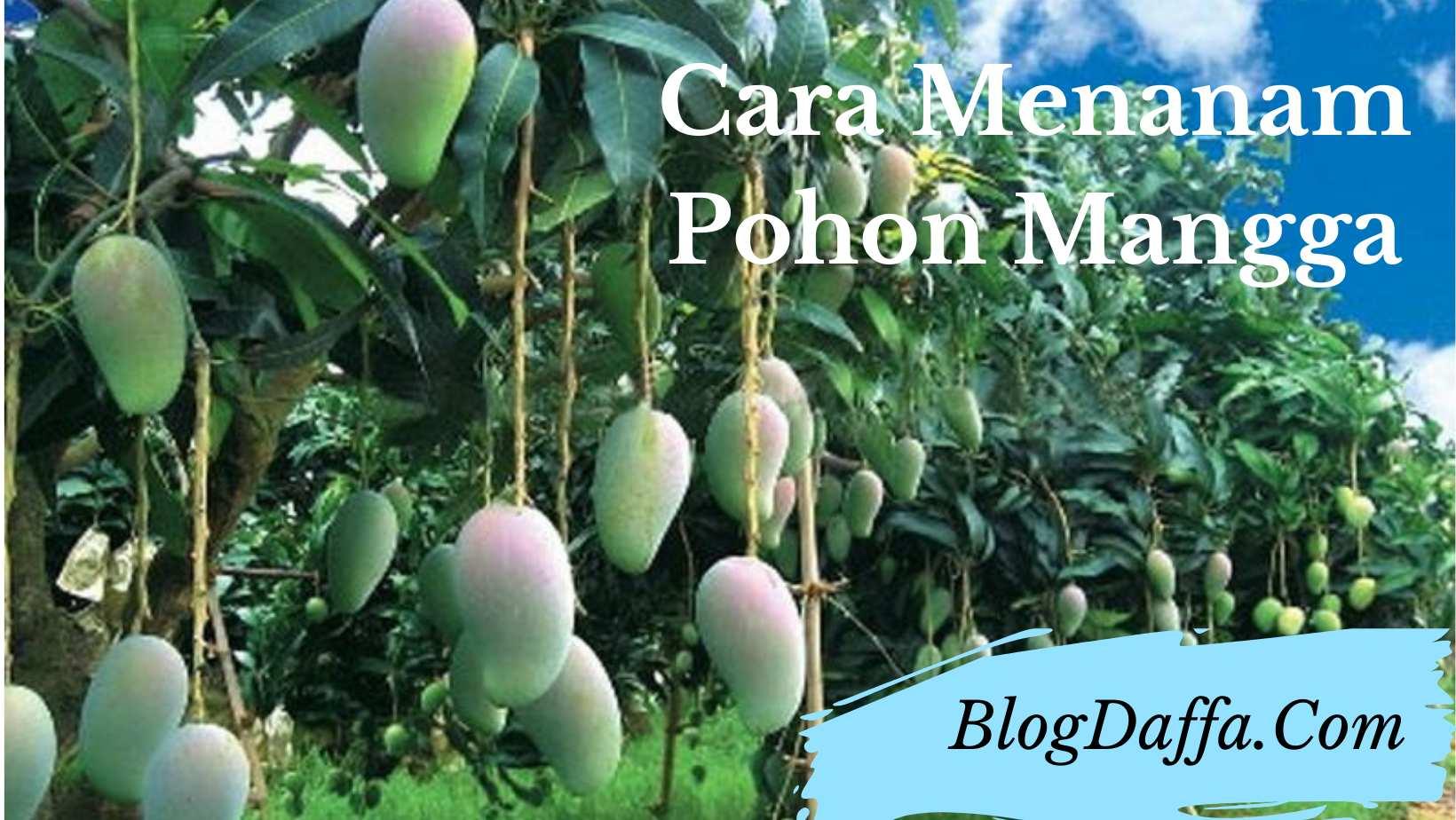 Cara menanam pohon mangga dengan mudah