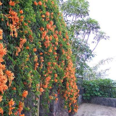 flor de San Juan