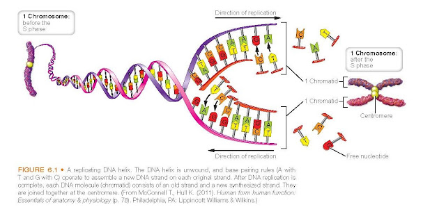 replicating DNA helix. The DNA helix is unwound, and base pairing rules (A with T and G with C) operate to assemble a new DNA strand on each original strand