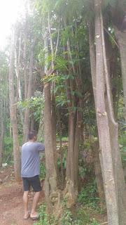 Harga jual pohon pule
