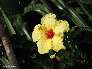 Yellow hibiscus, Fort DeRussy Park - Waikiki, Oahu, Hawaii