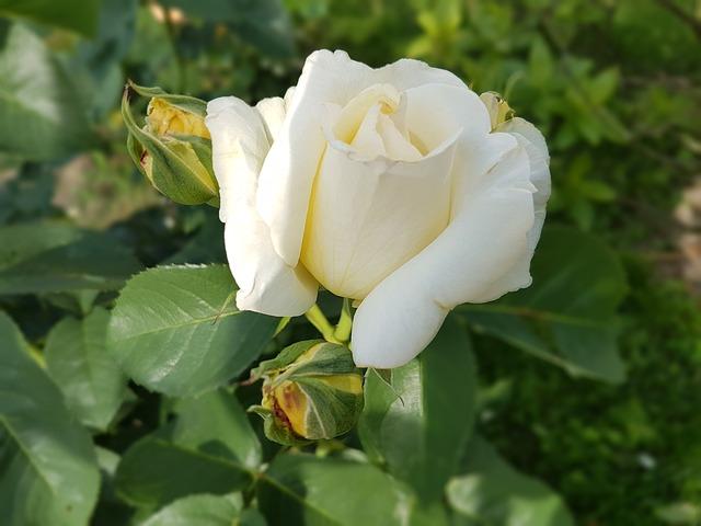hoa hồng bạch đẹp nhất 3