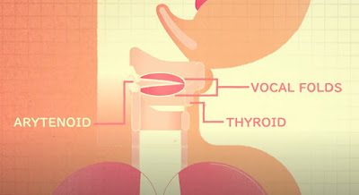 voice box, Arytenoid and thyroid