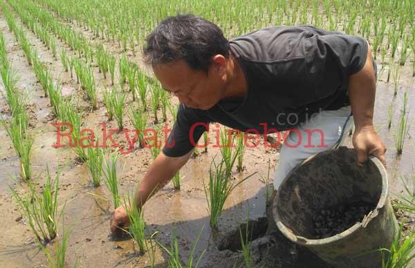 lahan pertanian di majalengka diserang hama keong mas