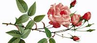 как ухаживать за розами, сажаем розы, пересадка роз