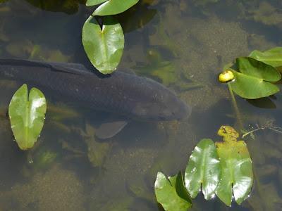 山田池公園 コウホネの池 鯉