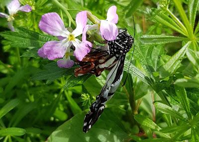 アサギマダラ Asagi madara butterfly