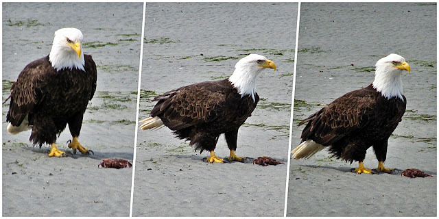 A young eagle checks out a newly dead clam on a Parksville beach.