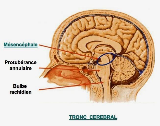 anatomie tronc cérébral système nerveux infirmier