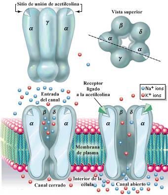 Receptor nicotínico - sistema nervioso autónomo