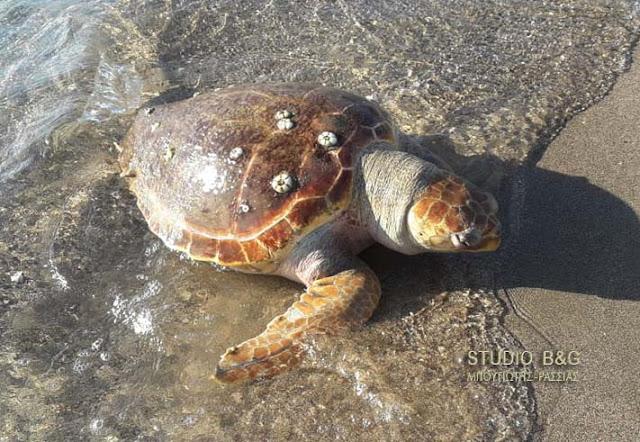 Νεκρή θαλάσσια χελώνα στην παραλία Καραθώνας στο Ναύπλιο