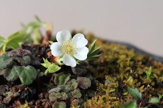山野草盆栽のユキシロキンバイの花のアップ