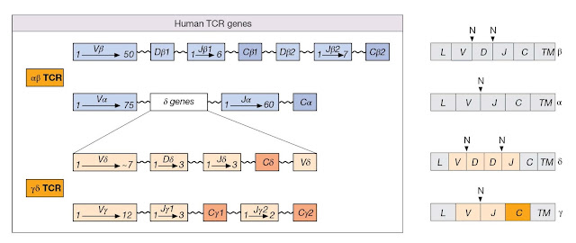Genes encoding αβ and γδ T‐cell receptors (TCRs)