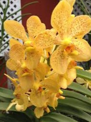 Anggrek Emas Kinabalu (Gold of Kinabalu Orchid)