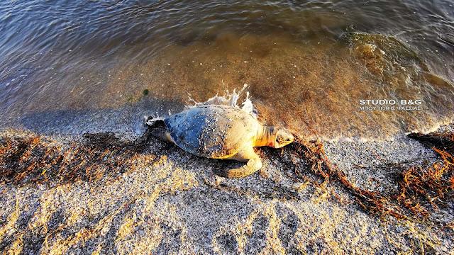 Νεκρές θαλάσσιες χελώνες ξεβράζονται στον Αργολικό κόλπο (βίντεο)