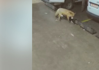 Μια υπέροχη αλεπού έκανε την εμφάνιση της στη Χαλκίδα