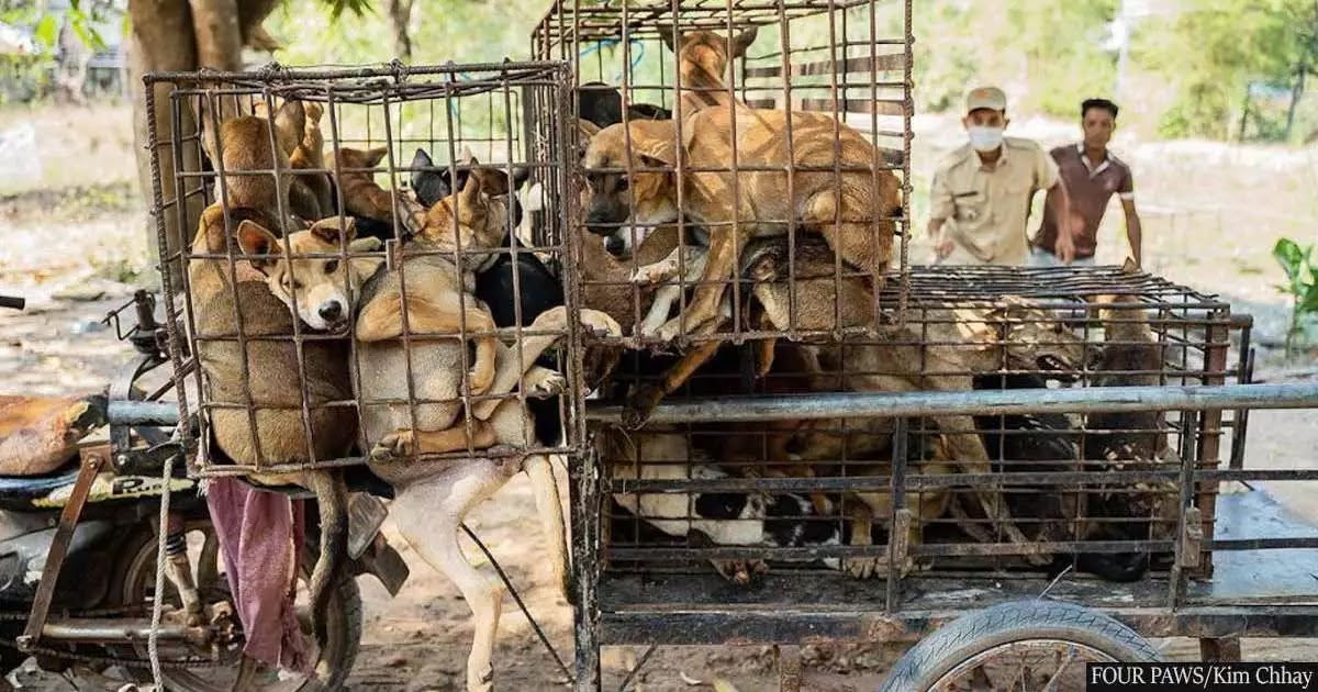 61 Dogs And Puppies In Cambodia Are Rescued From Being Slaughtered And Eaten