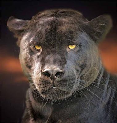 panthere-signe-de-loyaute
