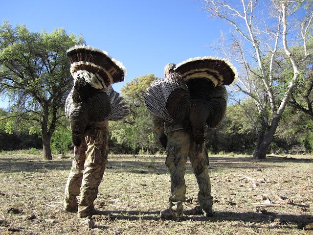 Gould's turkeys over the shoulder