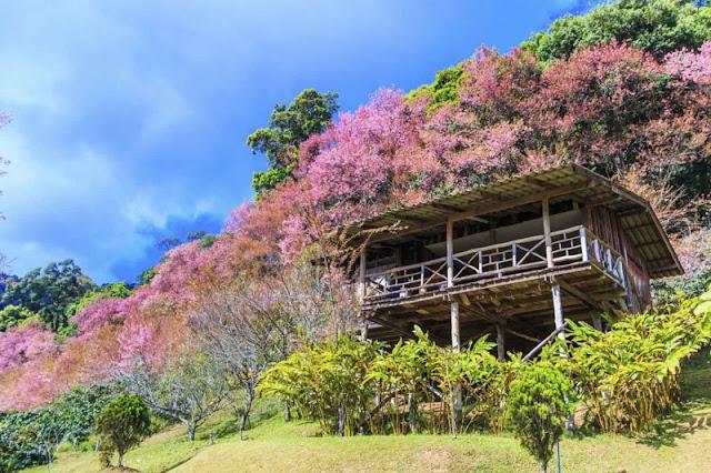 Chùm ảnh đẹp Hoa Anh Đào Nhật Bản vào tháng 02/2020 3