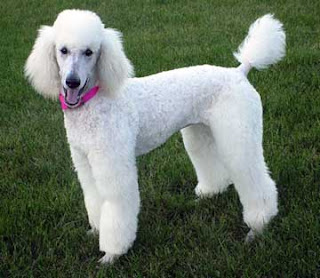 Poodle intelligence