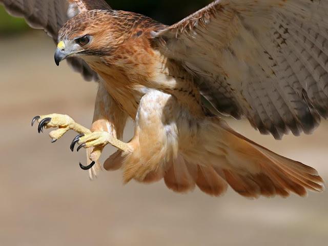 A ave de rapina será abatida!!!