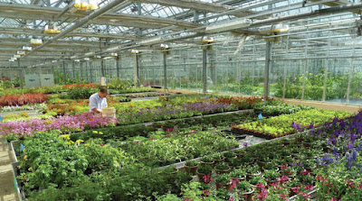 A solitary man between the rows of plants and flowers at a garden center.