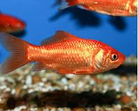 Jenis Ikan Koki Common perawatan