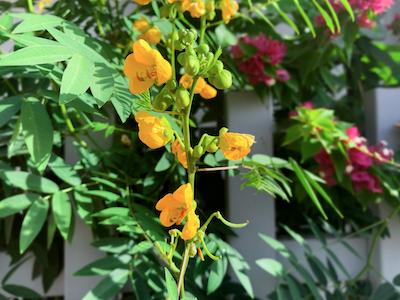 Yellow Coffee senna flowers stock image