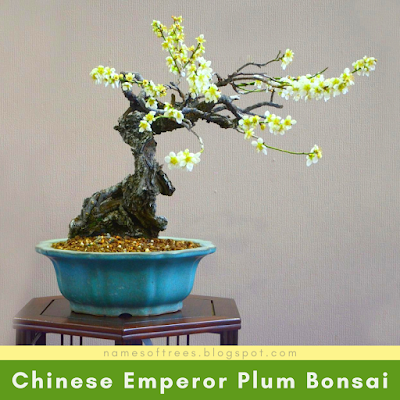 Chinese Emperor Plum Bonsai
