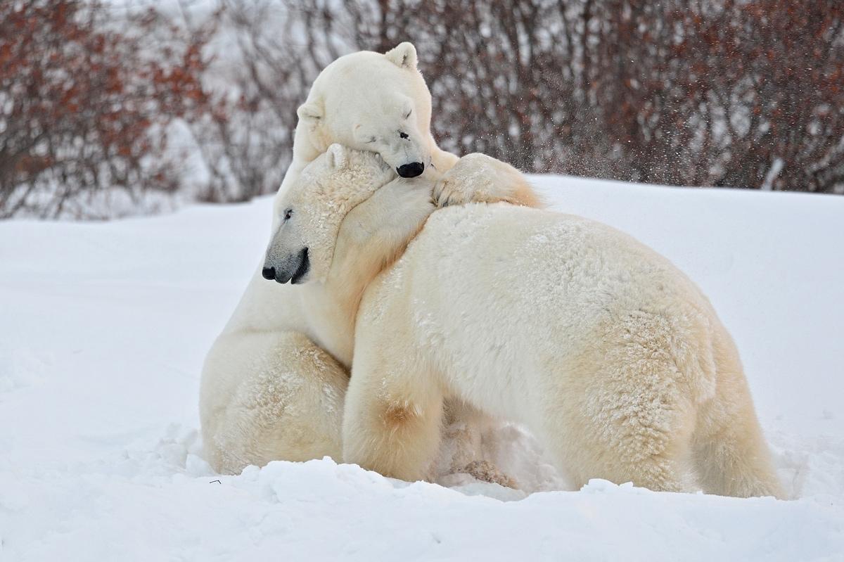 Imagenes De Osos Polares: IMAGENES DE OSOS POLARES: Abril 2013