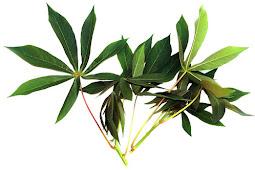 Manfaat minum air rebusan daun singkong bagi kesehatan tubuh