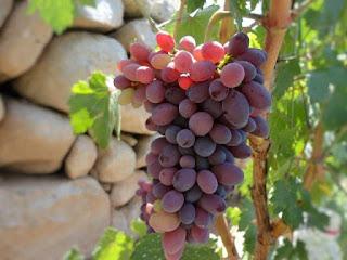अंगूर-खाने-के-फायदे-और-नुकसान