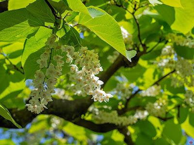 Hakuunboku (Styrax obassia) flowers: Engaku-ji